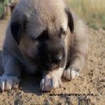 Sivas Kangal Yavrusu Çiftliği